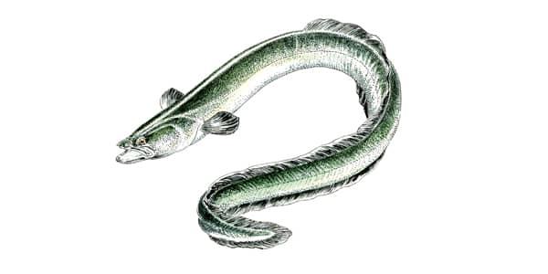 Dessin d'une anguille