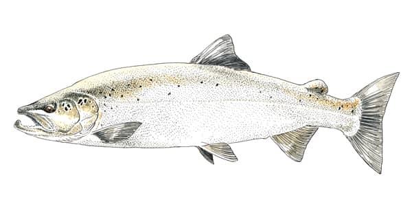 Dessin d'un saumon atlantique