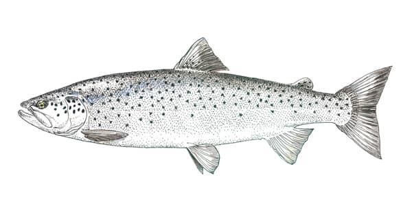 Dessin d'une truite de mer